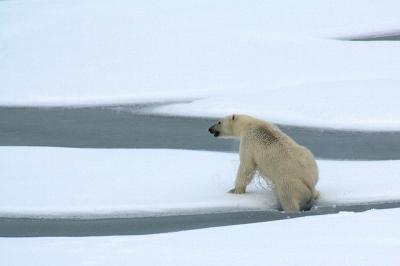 polar bear image.jpg